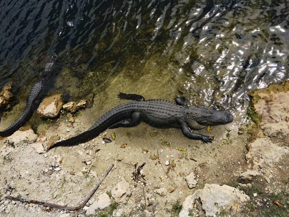 Alligator-Everglades-Florida-Roadtrip