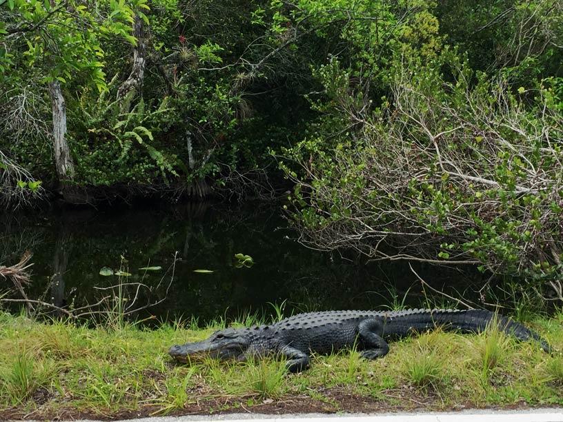 Alligator-Everglades-Loop-florida-mit-kindern