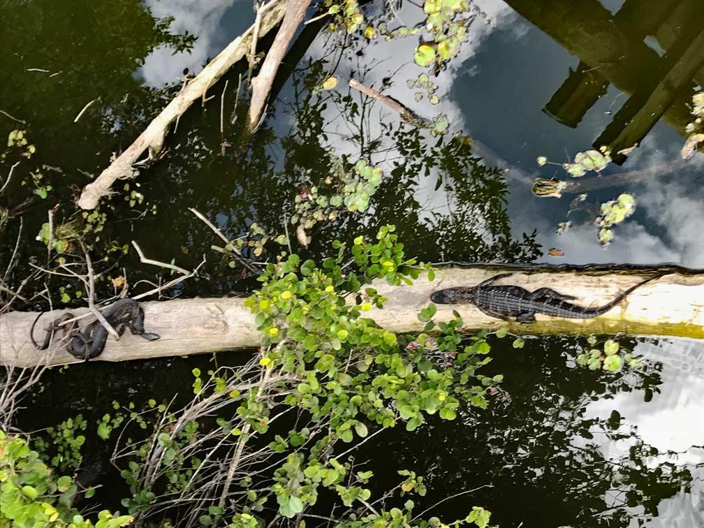 Schlangen-Everglades-Florida