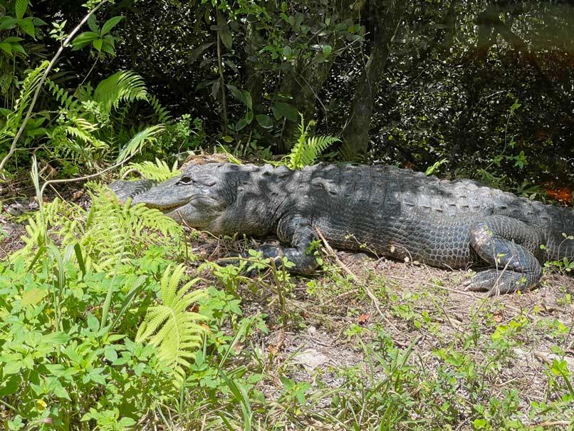alligator-everglades-florida-mit-kind