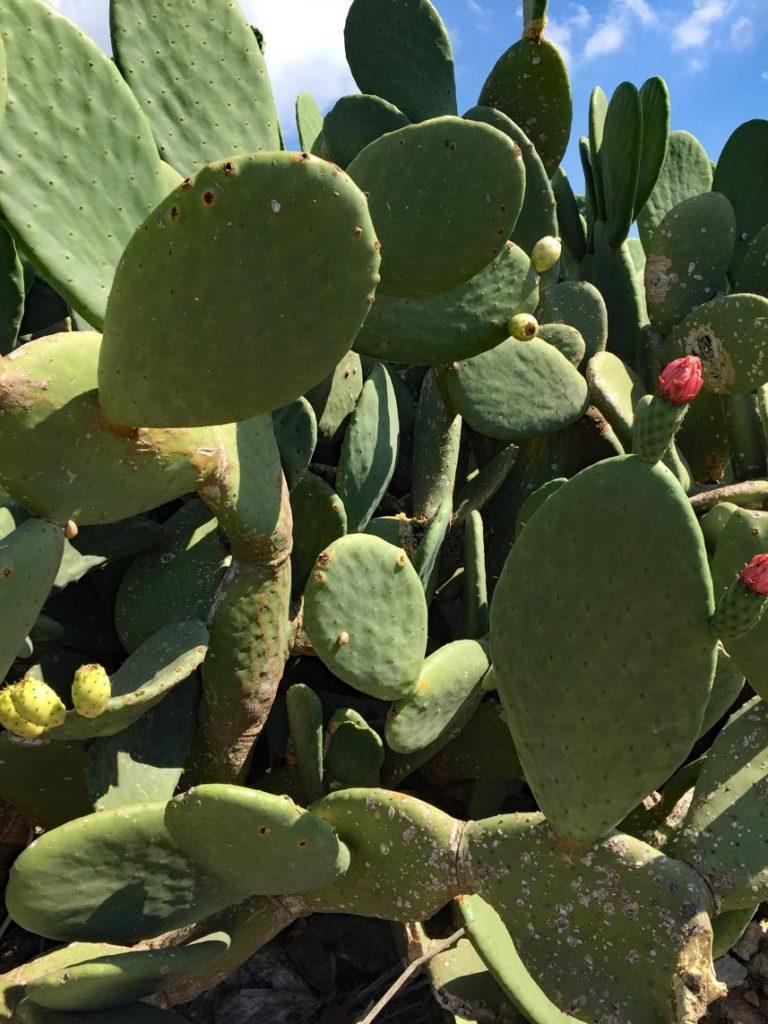Malta-Kaktus