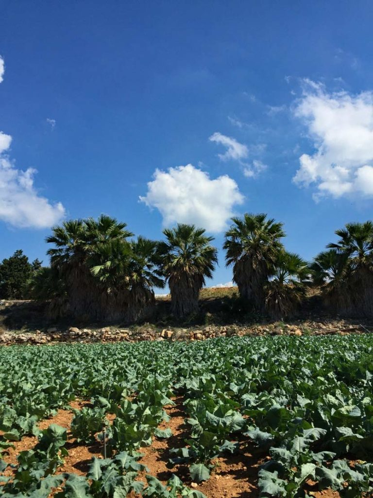 malta-feld-landwirtschaft