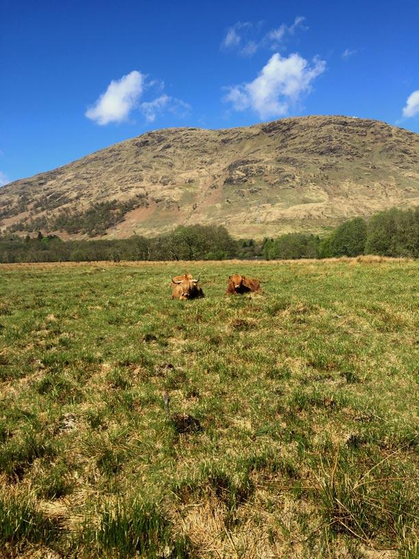 Schottische-Hochlandrinder in den Highlands