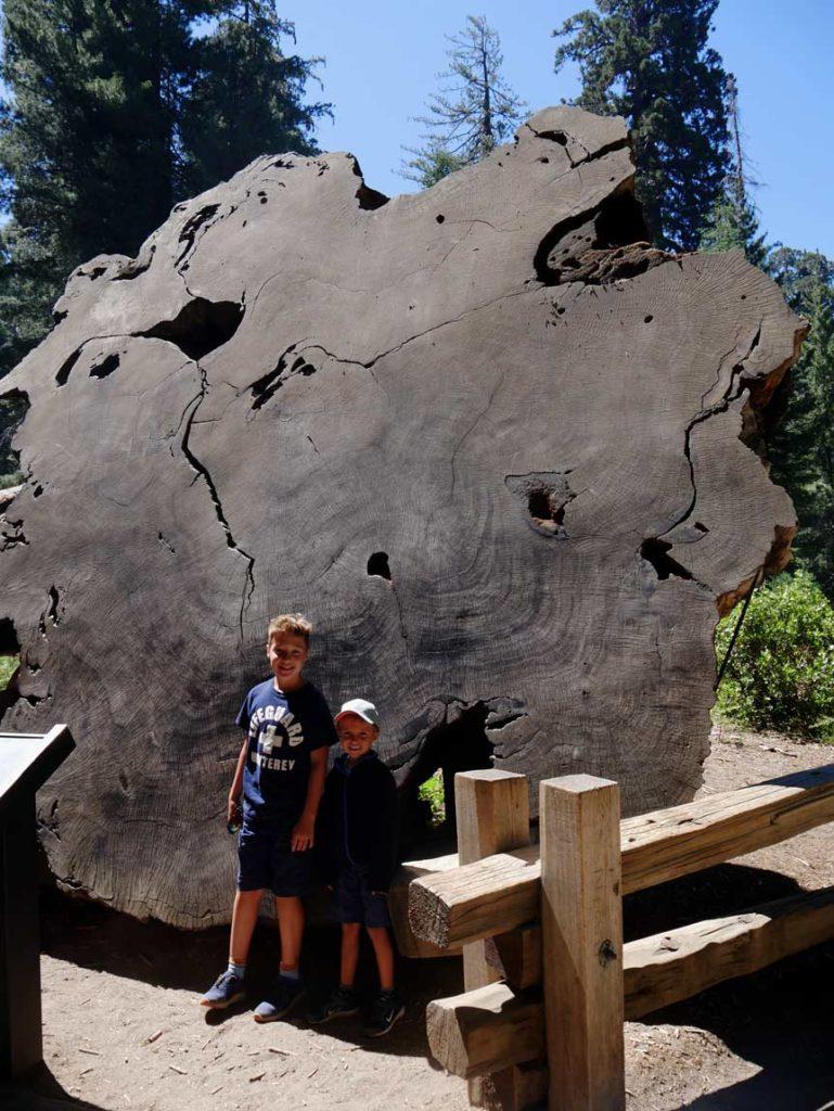 baumscheibe-redwoodbaum-riesenmammutbaum-sequoia-nationalpark-mit-kindern