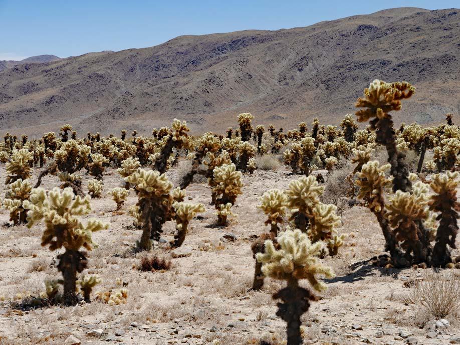 cholla-cactus-garden-joshua-tree-nationalpark-palm-springs-mit-kindern