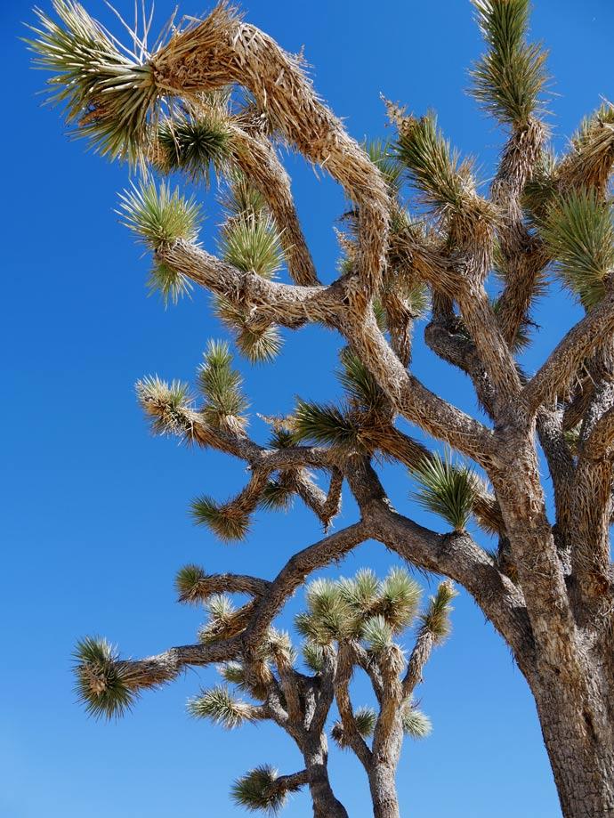 joshua-tree-baeume-palm-springs-mit-kindern