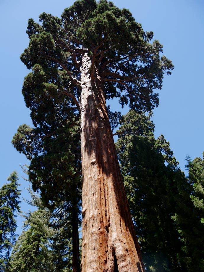 kuestenmammutbaum-riesenmammutbaum-sequoia-nationalpark-mit-kindern