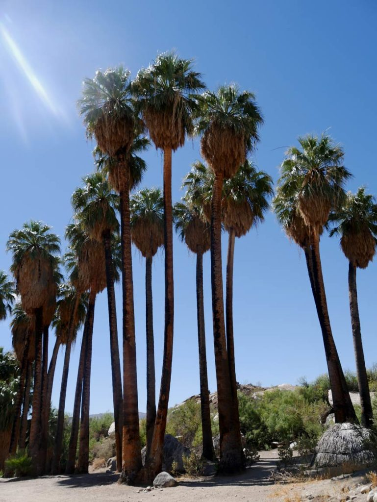 palmen-indian-canyons-palm-springs-mit-kindern-reisehighlights2019