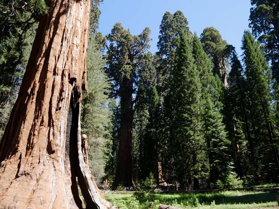 riesenmammutbaeume sequoia nationalpark mit kindern