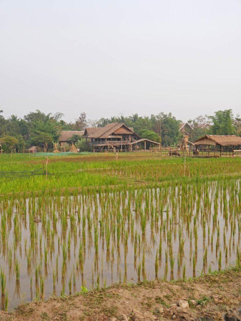 reisfelder-laos-luang-prabang-mit-kindern