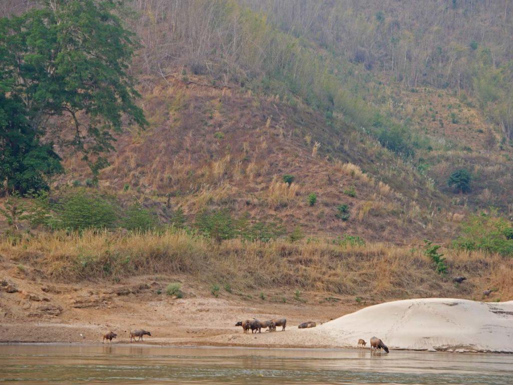 wasserbueffel slowboat mekong laos mit kindern