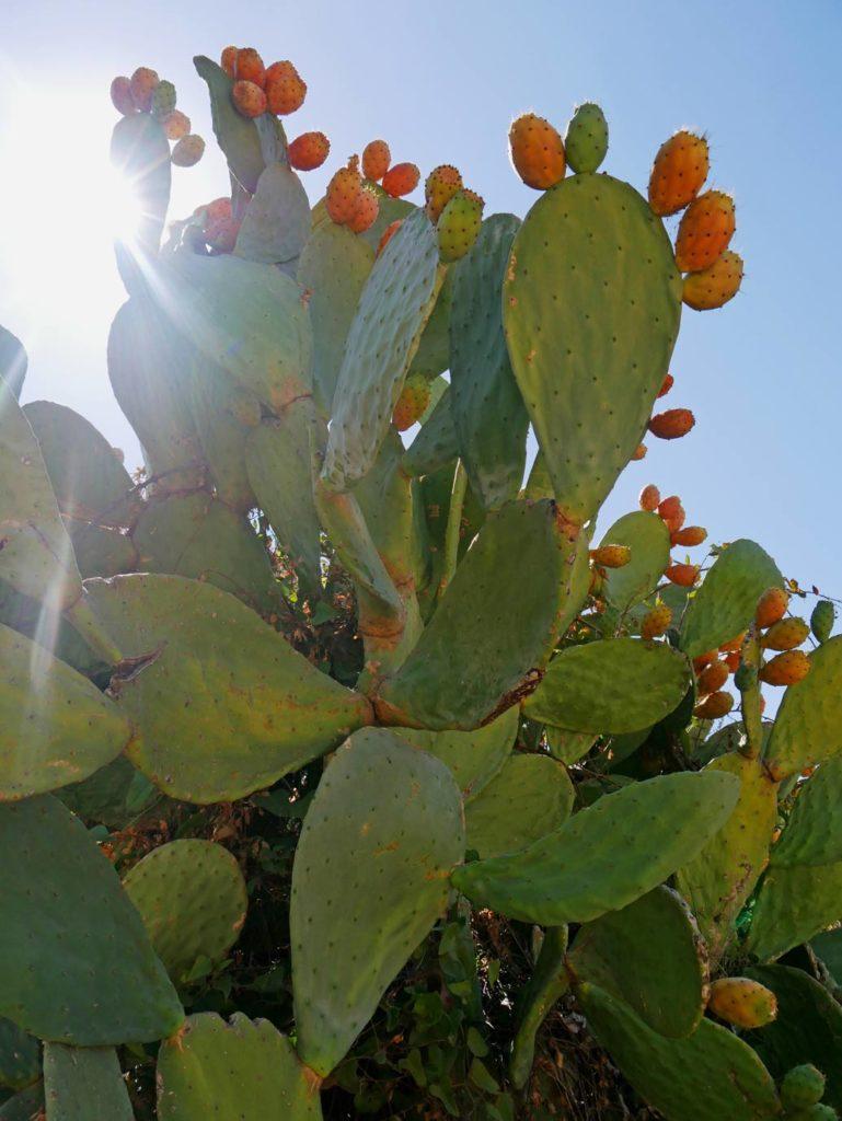 kaktusfeige urlaub sardinien mit kindern