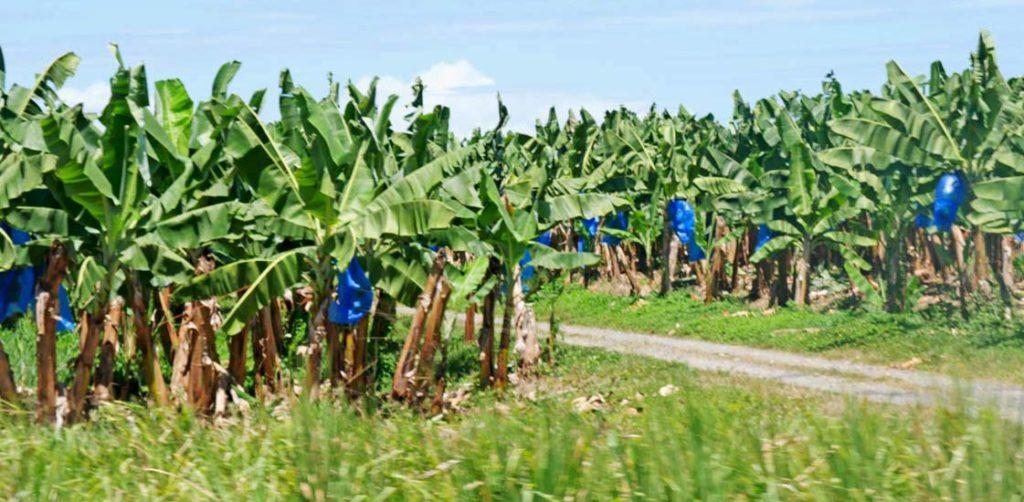 bananenplantage-costa-rica-tipps
