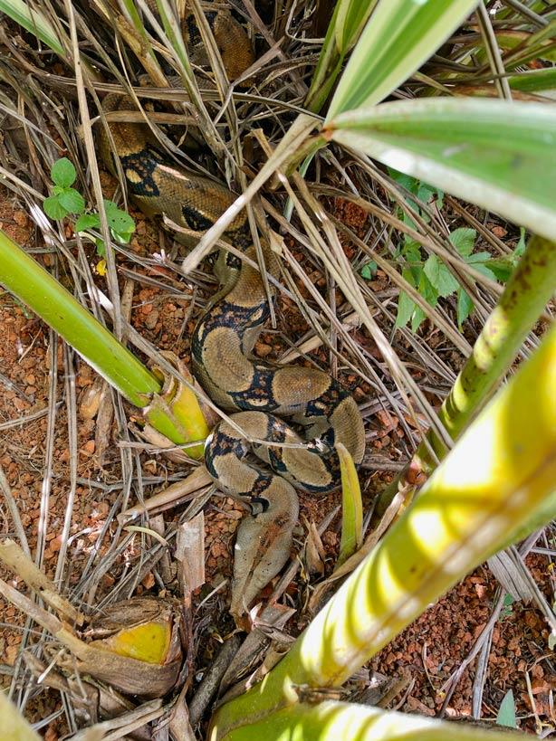 boa constrictor schlangen costa rica tipps