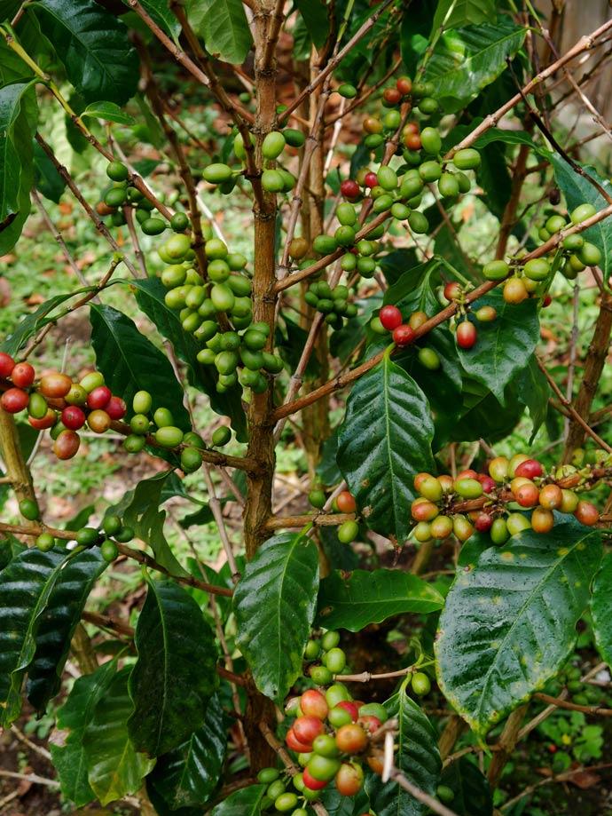 kaffeetour-don-juan-monteverde-mit-kindern-costa-rica-tipps