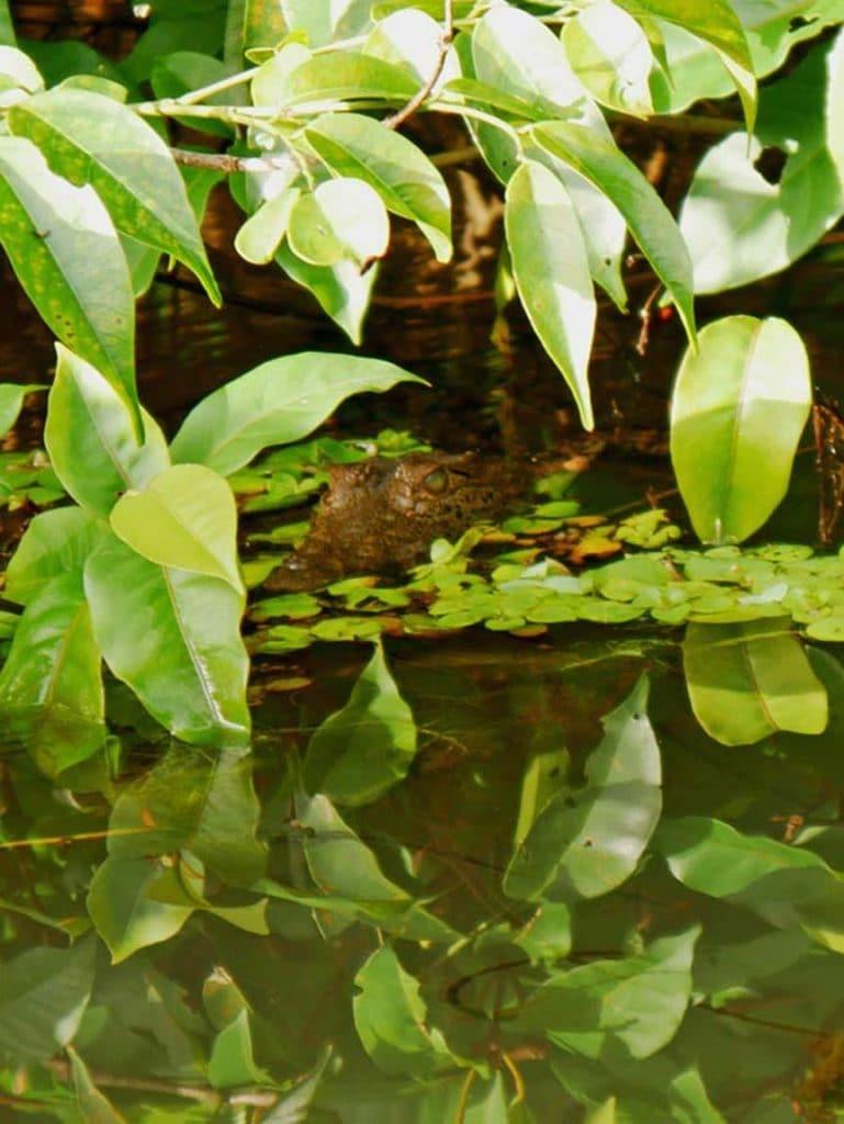tortuguero mit kindern baby krokodil costa rica